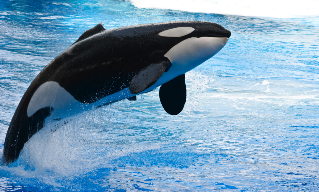 A killer whale jumps out of clear blue water