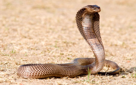 a cobra snake