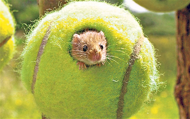 Harvest Mouse in tennis ball