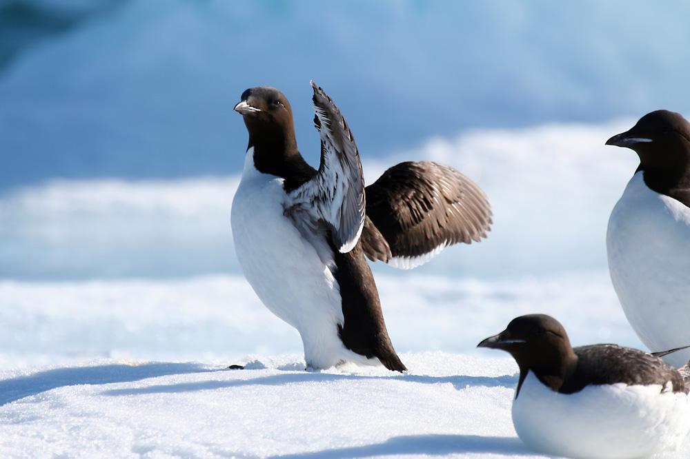 birds in North Pole